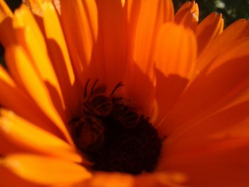 goudsbloem met bijen.jpg