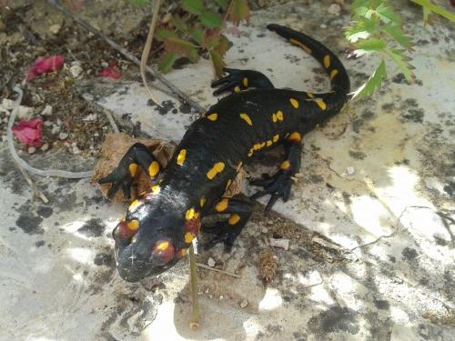 watersalamander.jpg